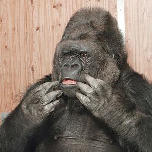 Koko is upset